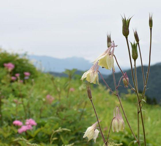 植物園-オダマキ.jpg